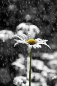 rain_flower